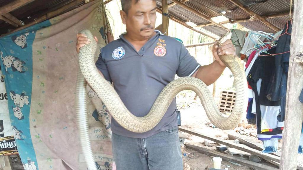 """""""Приятных сновидений"""": мужчина в Таиланде обнаружил у себя над кроватью 5-метровую королевскую кобру"""