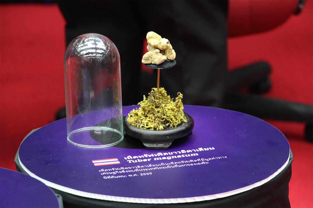 Самый дорогой в мире гриб – белый трюфель найден в горах Чианг Мая