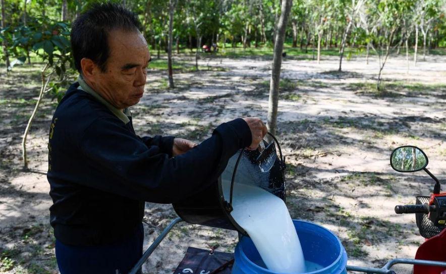 Тайцы обнаружили омолаживающие свойства в каучуке
