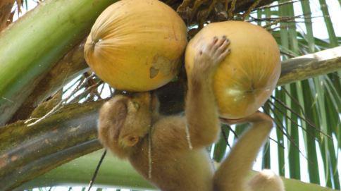 """В Таиланде произошёл """"кокосовый скандал"""" - из обезьян сделали рабов"""