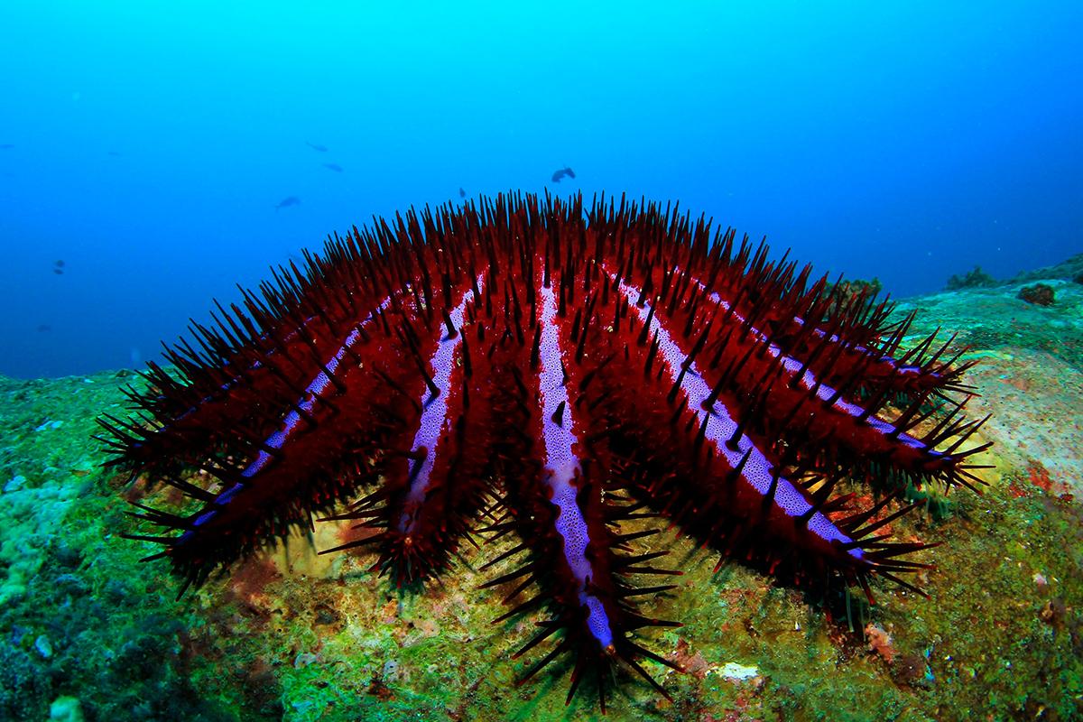 Армада морских звезд атакует кораллы Пхи-Пхи