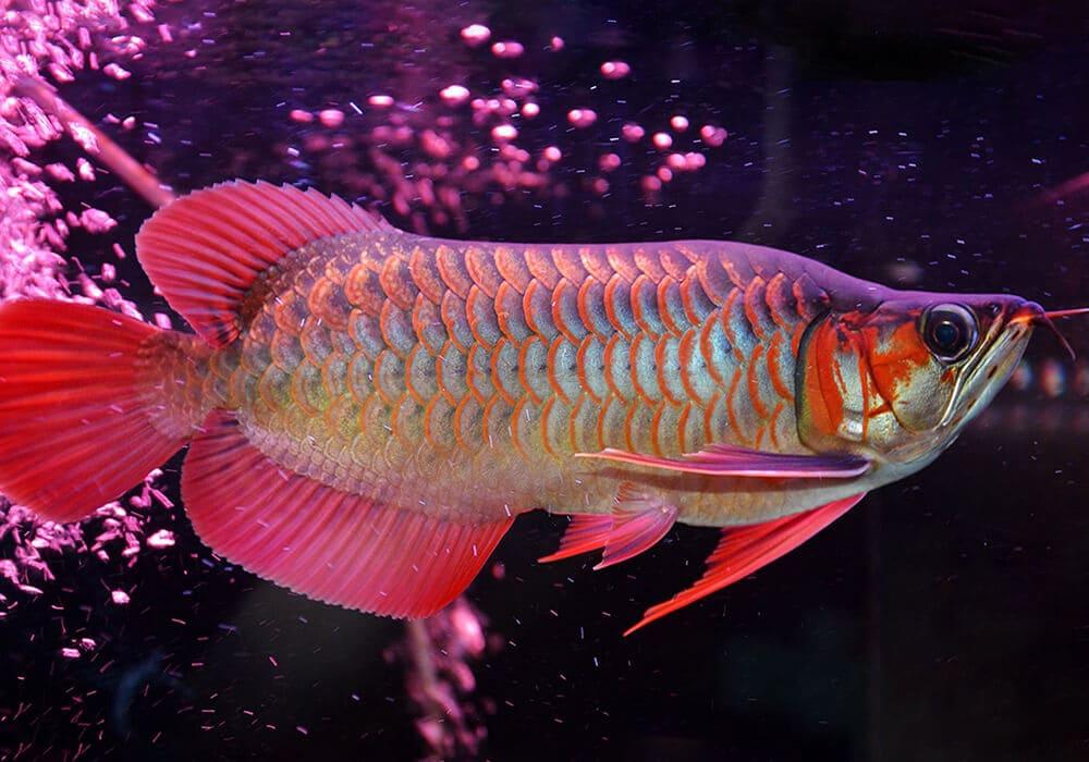 В Таиланде продают аквариумную рыбку за €25 000