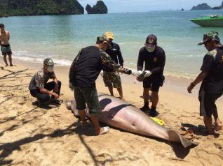 На пляж в Краби выбросило тушу 25-летней морской коровы
