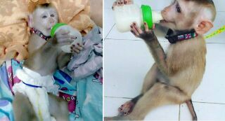 Две обезьянки оказались замешаны в торговле наркотиками