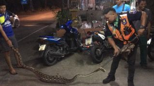 В Паттайе змееловы поймали 5-метрового питона, который съел трех котов