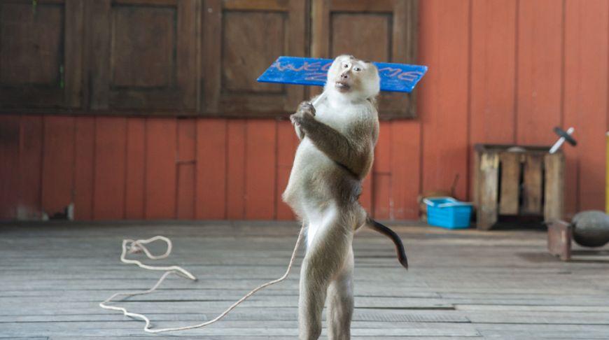 Община Пхукета одобрила переселение обезьян на отдаленный безлюдный остров