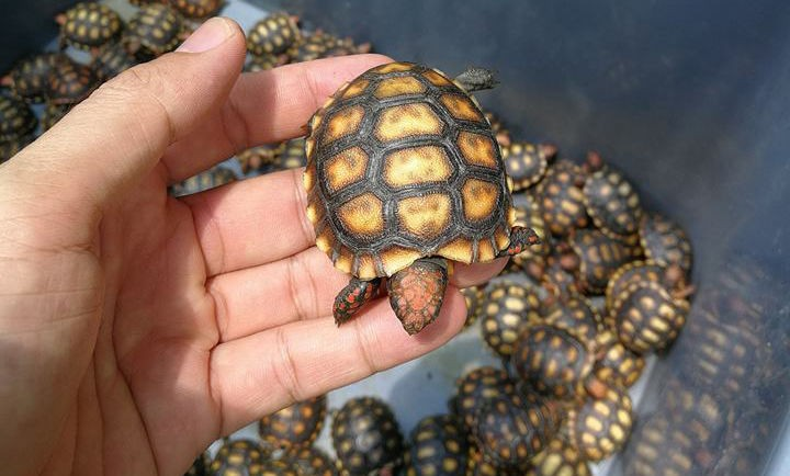На северо-западе Таиланда задержали грузовик с 4 500 маленькими черепахами