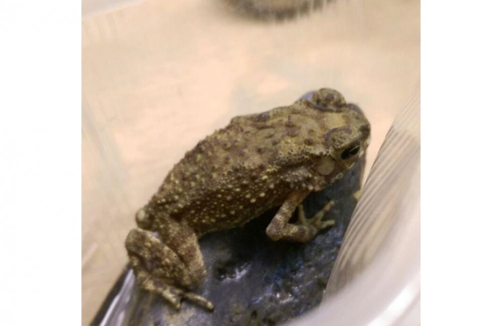 Жительница Новосибирска случайно вывезла жабу из Таиланда