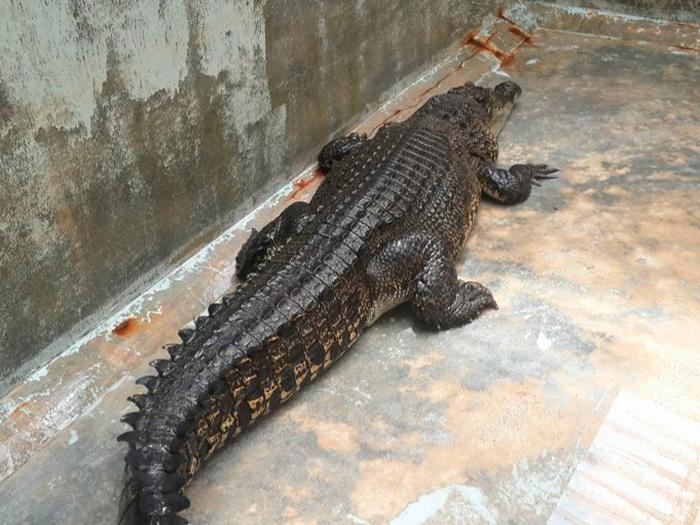 Пойманный на Пхукете крокодил впадает в депрессию