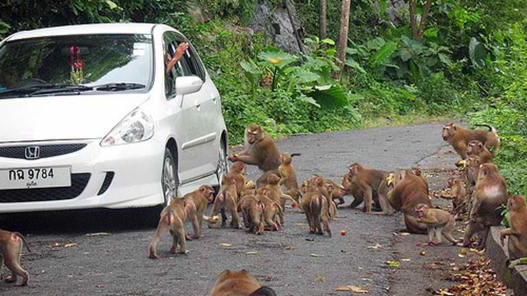 На Пхукете снова опасаются возросшей популяции диких обезьян