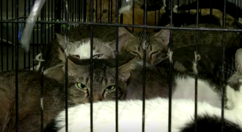 В Таиланде добровольцы спасли 303 кота