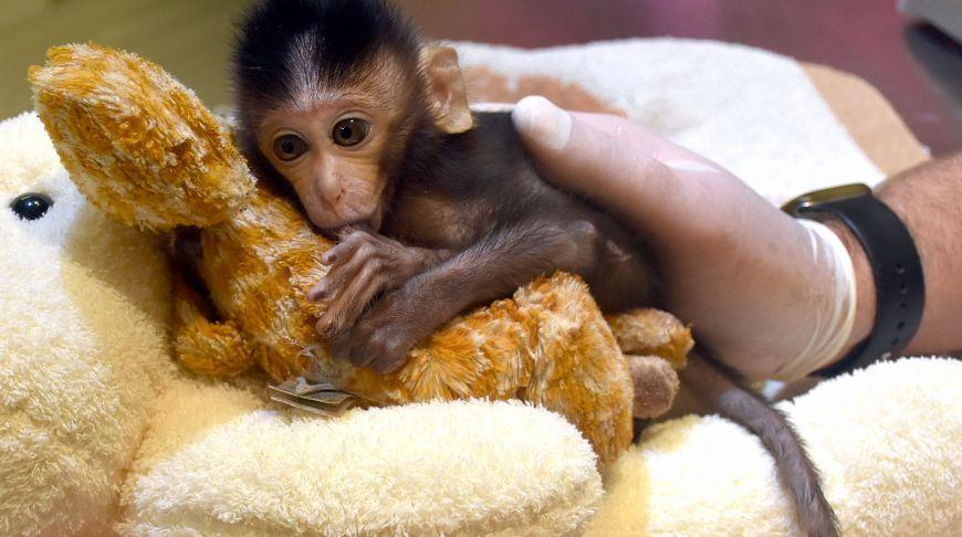 В Таиланде маленькая обезьянка считает плюшевого жирафа своей мамой