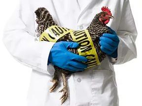 Птичий грипп: в Камбодже обнаружен вирус H5N1
