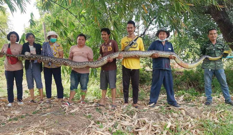 В Таиланде поймали 6 метрового монстра-питона