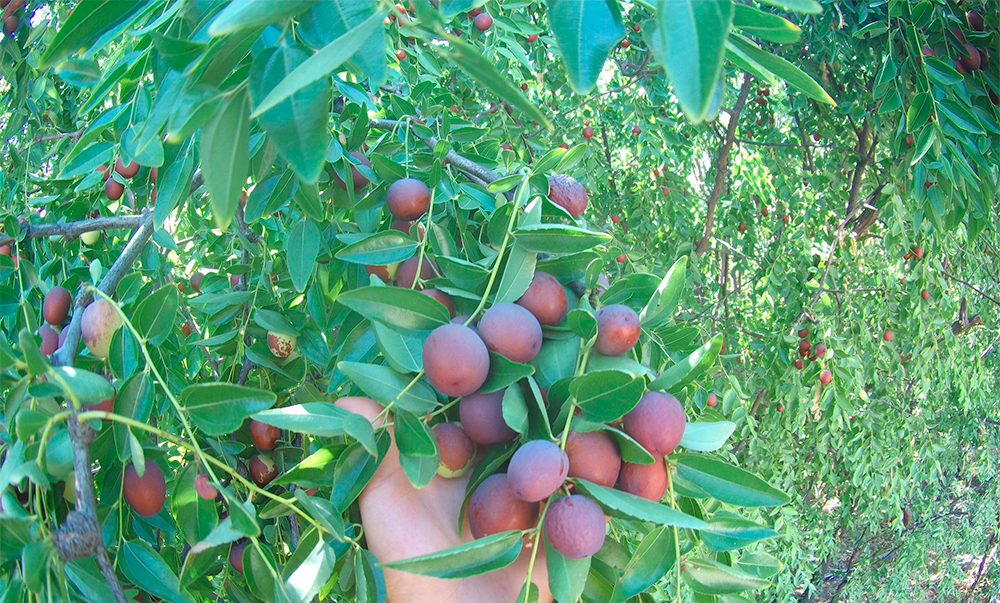 Наступает сезон ююба – маленького и очень полезного фрукта Таиланда
