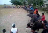 Забег на быках (Камбоджа)