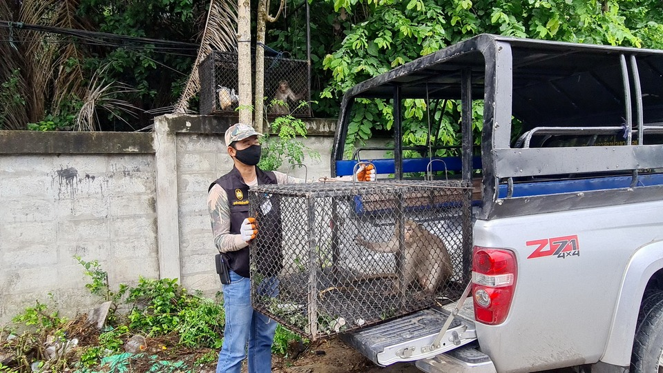 В Наджомтьене орудовала банда диких обезьян