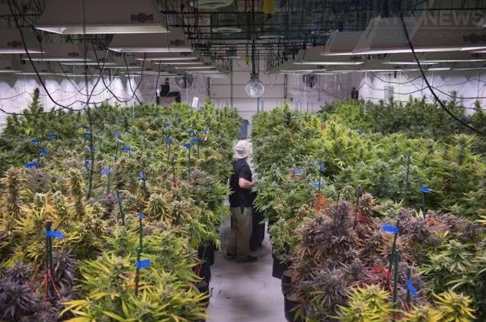 Таиланд завершает удаление марихуаны из списка наркотиков