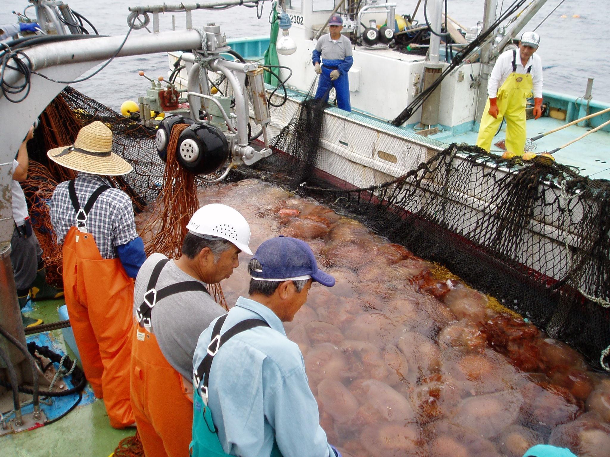 На ловле медуз в Таиланде можно заработать до 10 тысяч батов в день