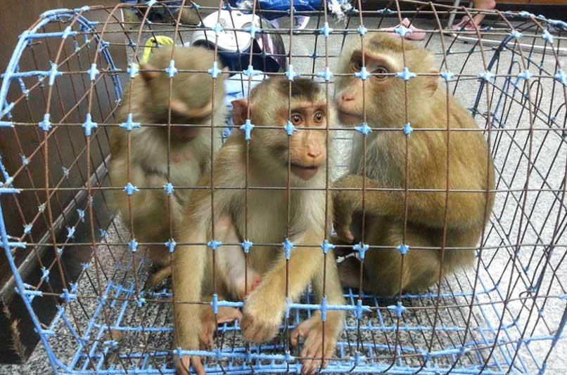 На Пхукете дан старт стерилизации обезьян