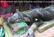 Видео: В Таиланде буйволица родила загадочное существо