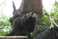 Кормление бинтуронга Khao Kheow Open Zoo