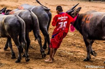 Гонки на быках в Чонбури 2014