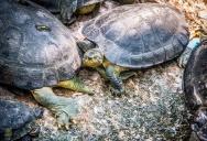 Черепахи в Нонг Нуч, Паттайя, Тайланд