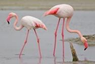 Розовые фламинго в зоопарке Паттайи