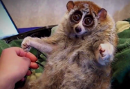 The slow loris pet trade needs to stop, before it is too late.