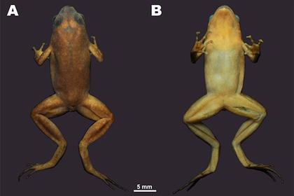 Ученые МГУ нашли в пещерах Таиланда неизвестную лягушку