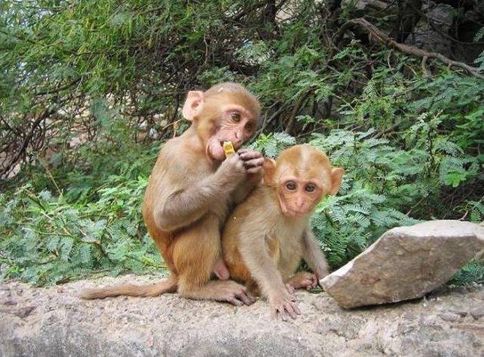 Рабочие из Чалонга просят решить проблему голодных обезьян
