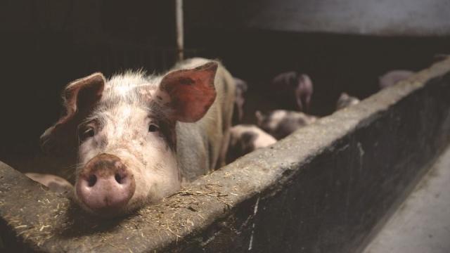 В Камбодже зафиксирована вспышка африканской чумы свиней