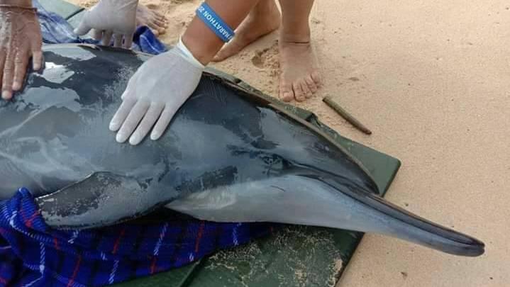 Раненого дельфина нашли на пляже в 25 км от Пхукета