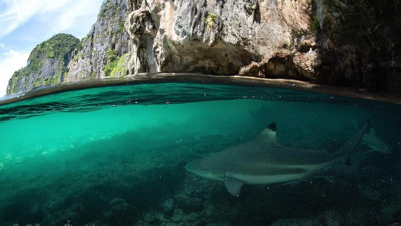 Эксперты призывают усилить защиту рифовых акул в заливе Майа-Бэй