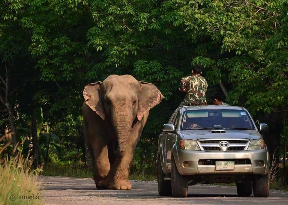 Кео, путешествующий слон, вновь посетил Районг