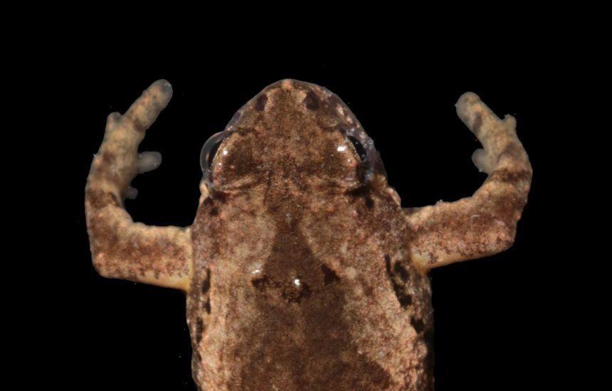 Ученые в Таиланде обнаружили новый вид лягушек с голосом кузнечика