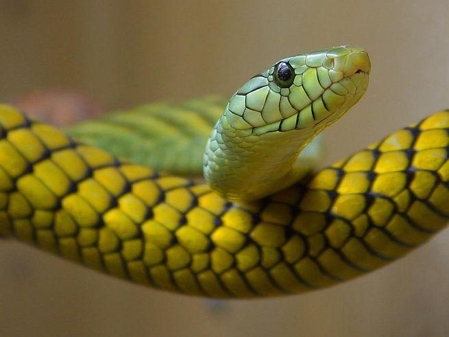 Спавший с ядовитой змеей житель Таиланда отделался щекоткой