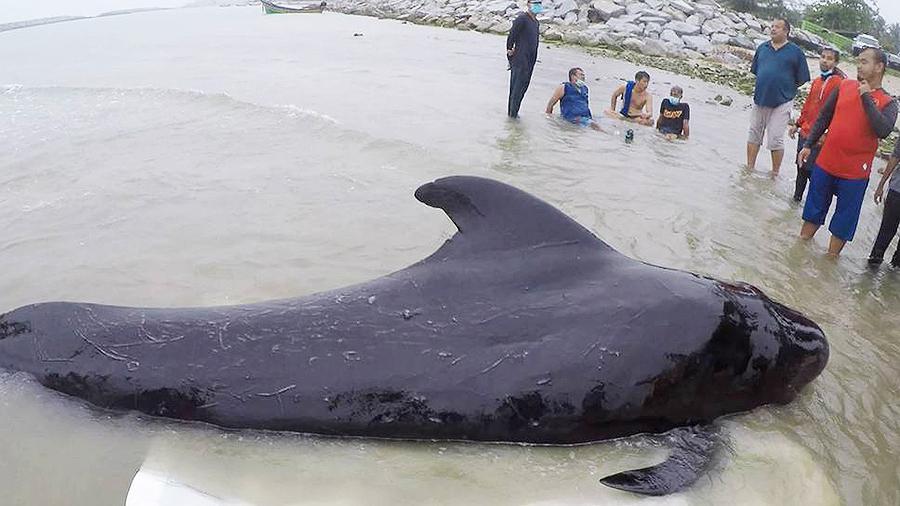 В Таиланде умер проглотивший 80 пластиковых пакетов дельфин