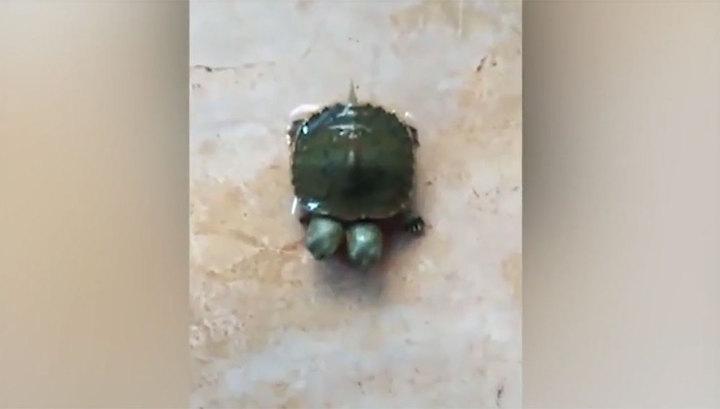 В Таиланде родилась двухголовая черепаха