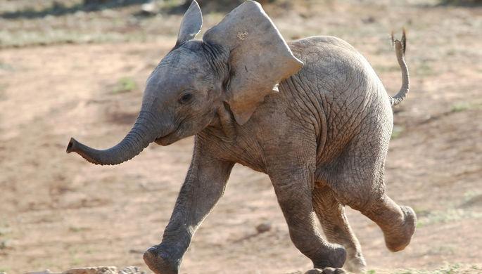 СМИ: в Таиланде слониха убила хозяина и попыталась спрятать его тело
