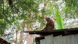Рабочие из Чалонга пожаловались на голодных обезьян. Строительные рабочие из лагеря на Soi Yodsanae в Чалонге обратились в муниципальную службу спасения с просьбой попытаться решить проблему голодных обезьян, ворующих еду из жилья